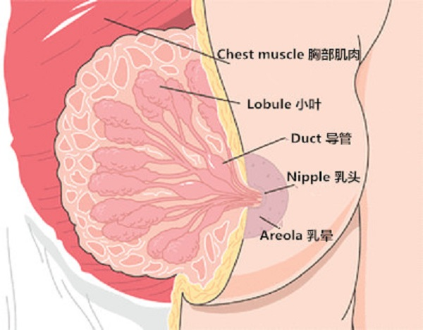 breast-composition